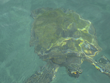 Sea Turtle Underwater, Taboga Panama